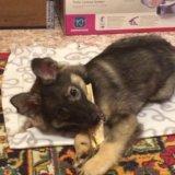 Отдам щенка в очень добрые и надежные ручки!!. Фото 4.
