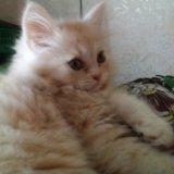 Кремовый котейка. Фото 1. Волжский.
