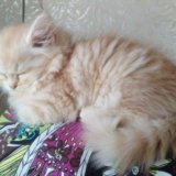 Кремовый котейка. Фото 4. Волжский.