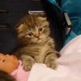 Продам шотландского котенка. Фото 1.