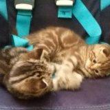 Продам шотландского котенка. Фото 3.