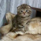 Продам шотландского котенка. Фото 4.