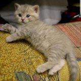 Котенок британский. Фото 2.