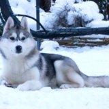 Сибирский хаски щенок. Фото 4. Пушкино.