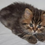 Шотландские котята. Фото 1. Казань.