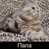 Шотландские котята. Фото 4. Казань.