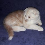 Шотландский вислоухий котенок. Фото 1.