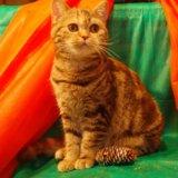 Высокопородная кошка шоколадная. Фото 2. Всеволожск.