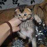 Шотландские вислоухие котятки. Фото 3. Краснодар.