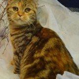 Высокопородная кошка шоколадная. Фото 1. Всеволожск.