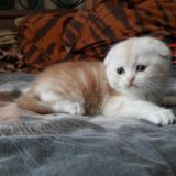 Шотландский вислоухий котенок. Фото 2.
