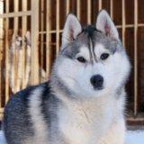 Сибирский хаски щенок. Фото 1. Пушкино.
