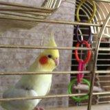 купить попугая корелла в мариуполе