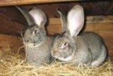 Продам кроликов серый великан. Фото 2.