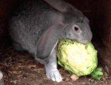 Продам кроликов серый великан. Фото 1.