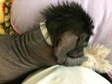 Собака китайская хохлатая. Фото 3.