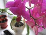 Орхидеи + кашпо (стекло). Фото 2.