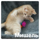 Котёнок мишель. Фото 1.