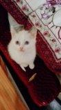 Сиамский котенок. Фото 2.