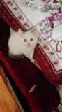 Сиамский котенок. Фото 3.