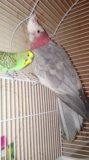 Попугай какаду с другом. Фото 2.