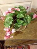 "Комнатное растение ""цикламен"". Фото 1."