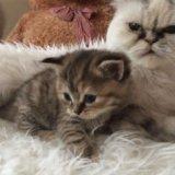 Котята от персидской кошечки. Фото 2.