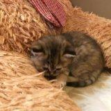 Котята от персидской кошечки. Фото 4.