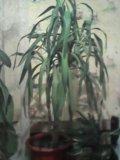 Цветы юка . пишите. Фото 2.
