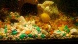 Улитки аквариумные ампулярии. Фото 1.