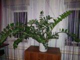 Долларовое деревл. Фото 1.