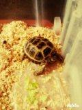 Черепаха сухопутная. Фото 2.