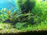 Моллинезии креветки улитки растения в аквариум. Фото 2.