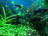 Моллинезии креветки улитки растения в аквариум. Фото 1.