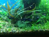 Моллинезии креветки улитки растения в аквариум. Фото 3.