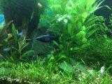 Моллинезии креветки улитки растения в аквариум. Фото 4.