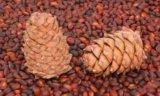 Кедровые орехи. Фото 2.