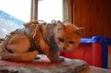 Рыжая лисичка в добрые руки. Фото 3.