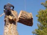 Спил аварийных деревьев. Фото 1.