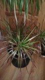 Драцена пальма. Фото 2.