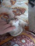 Отдам британского котенка. Фото 3.