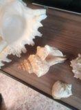Ракушки с черного моря. Фото 1.