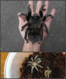 Lasiodora parahybana или лошадиный паук (птицеед). Фото 1.