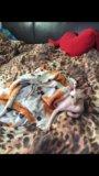 Котята канадского сфинкса. Фото 4.