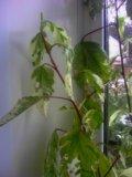Гибискус (китайская роза, каркадэ ). Фото 1.