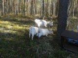 Козы дойные 5 штук и козел. Фото 3.