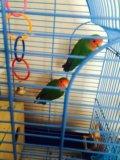 Попугаи неразлучники. Фото 3.