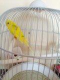 Попугайчик волнистый. Фото 1.