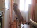 Шотландская прямоухая кошечка. Фото 4.
