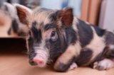 Мини-пиги, карликовые свинки декоративные. Фото 1.